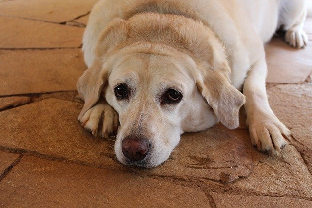 Dogs with pancreatitis will act lethargic and tired, especially after eating foods high in fat.