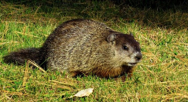 Groundhogs and other small mammals can easily pass along rabies to your dog.