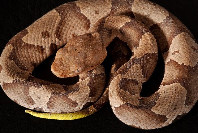 Pit vipers like the Eastern Copperhead are relatively common venomous snakes in Virginia.